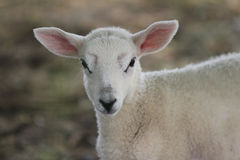 Spring lamb staring into camera. Stock Photography