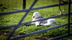 Spring lamb stock video