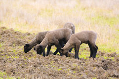 Spring lambs Stock Image