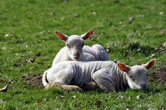 Spring Lambs. Close up of two newborn lambs Royalty Free Stock Image