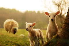 Spring Lambs. New Spring Lambs watching you royalty free stock photography
