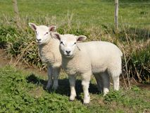 Spring Lambs. Two Newborn Spring Lambs in a Green Field royalty free stock photography