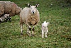 Spring lambs royalty free stock image