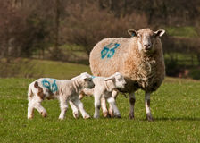 Spring Lambs Stock Photo