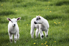 Spring lambs. One looking at the camera while the other looks at it Stock Photo