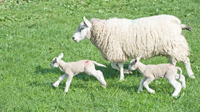 Spring lambs. New born lambs with mother in field on 31st March 2012 Royalty Free Stock Photography