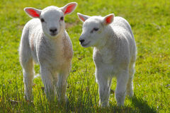 Spring lambs. Two white newborn Spring lambs royalty free stock photos