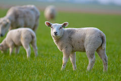 Spring lambs. Lambs during the spring in the meadow Royalty Free Stock Photo