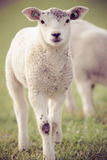 Spring lambs. Lambs during the spring in the meadow Royalty Free Stock Photography
