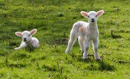 Free Spring Lambs Royalty Free Stock Photo - 41005485