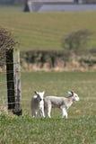 Spring lambs Stock Photos