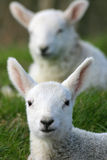 Spring lambs. Two lambs looking into camera. England April Royalty Free Stock Image