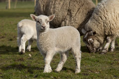 Spring lambs Royalty Free Stock Image
