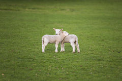 Spring Lambs Baby Sheep in A Field. Two young baby spring lambs and sheep in a green farm field stock photo