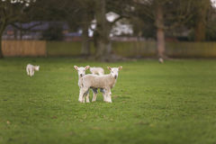 Spring Lambs Baby Sheep in A Field Stock Photography