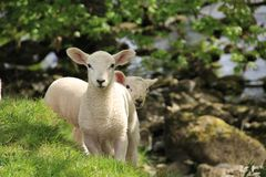 Lambs By The Ribble, Yorkshire, UK. Spring lambs on the banks of the river Ribble, Yorkshire Dales, UK Royalty Free Stock Photo