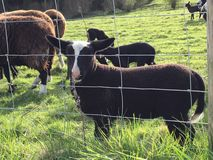 Spring Lambs Stock Images
