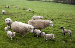 Spring Lambs. In a field royalty free stock photos