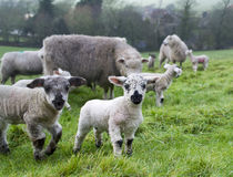 Spring Lambs. In a field royalty free stock photo