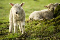 Spring Lambs. In a field stock photo
