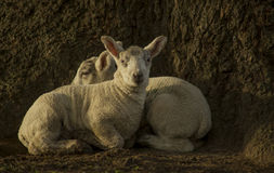 Spring Lambs. In a field stock photography