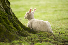 Spring Lambs. In a field royalty free stock image