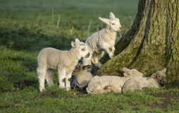 Spring Lambs. In a field royalty free stock photography