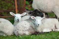 Spring lambs Stock Photos