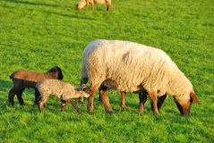 Spring Lambs. New spring lambs on the in green pastures on a sheep ranch in Oregon stock photos