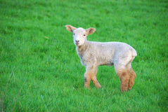 Spring Lambs. New spring lambs on the in green pastures on a sheep ranch in Oregon royalty free stock photos