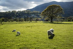 Spring lambs in sunlight in front of mountain in Lake District i Stock Photography