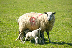 Spring lambs with their mum Stock Photography
