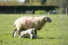 Spring lambs with their mum Royalty Free Stock Photo