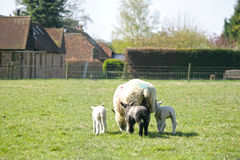 Spring lambs with their mum Stock Image