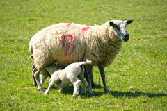 Spring lambs with their mum Stock Images