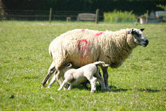 Spring lambs with their mum Royalty Free Stock Photography