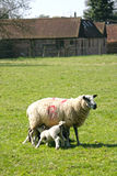 Spring lambs with their mum Royalty Free Stock Images