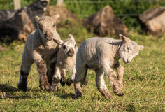 Spring Lambs Royalty Free Stock Images