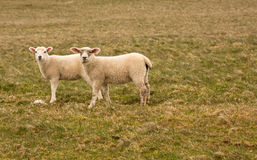 Spring lambs. Two spring lambs in a field Stock Photo