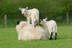 Spring Lammeren op Royalty-vrije Stock Fotografie