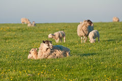 Spring lams and sheep in rural landscape. Sunrise landscape of Spring lambs with ewe sheep stock photography