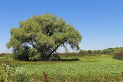 Spring Landsacpe in San Luis NWR. Spring landscape with a large tree in the San Luis Wildlife Refuge in Central California royalty free stock image