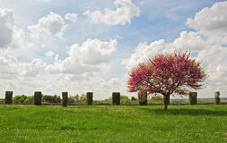 Spring landscape. Blossoming tree on the green grass Royalty Free Stock Photography