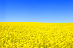 Spring landscape. Picture of oilseed rape on field and blue sky Stock Photo
