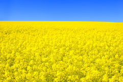 Spring landscape. Picture of oilseed rape on field and blue sky Royalty Free Stock Image