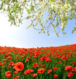 Spring landscape. With red poppy field Stock Photography