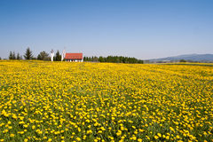 Spring landscape. With dandelions and the church Royalty Free Stock Photography