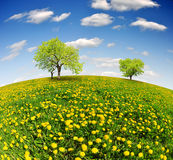 Spring landscape. Spring tree on dandelions field - fisheye shot Royalty Free Stock Photo