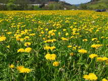Spring landscape. Field full of spring flowers royalty free stock photography