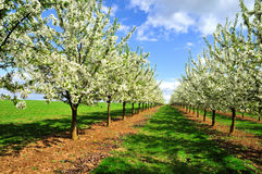 Spring landscape. With blossoming cherry-trees Stock Photos
